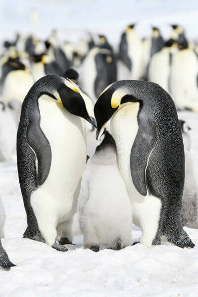 travel-in-antarctica-south-pole-zones-emperor-penguins-on-the-ice-in-the-weddell-sea