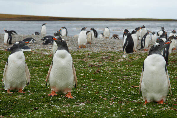 travel-in-antarctica-south-pole-zones-gentoo-penguins-falkland-islands