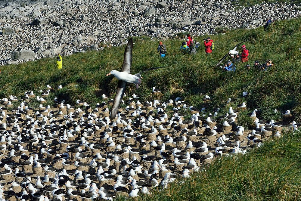 my-antarctica-holiday-falkland-islands-travel-albatross-colony