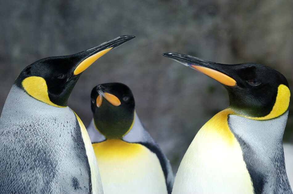 guide-antarctica-fly-cruises-falkland-islands-king-penguins