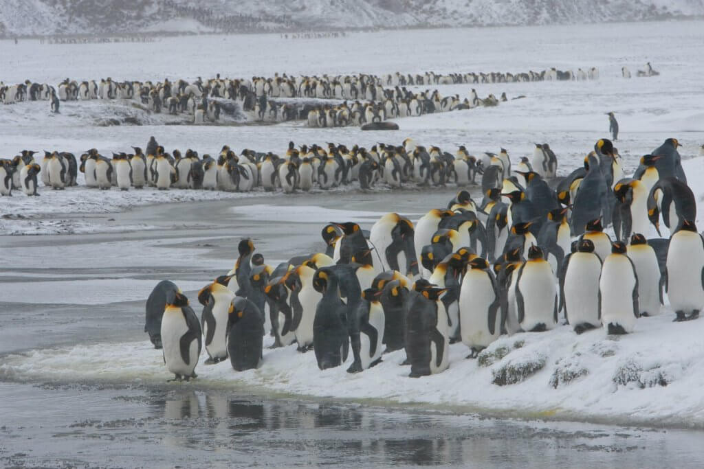 guide-antarctica-fly-cruises-south-georgia-king-penguin-colony