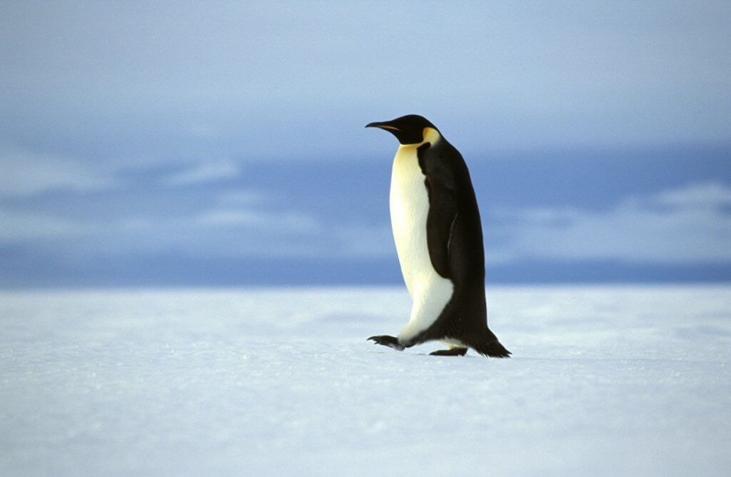 guide-antarctica-fly-cruises-weddell-sea-emperor-penguin